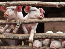 Cerdos curiosos recién nacidos en un establo Foto de archivo