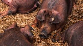 Cerdos daneses del Duroc-Jersey que duermen en pluma en ganadería fotos de archivo