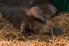 Cerdos daneses del Duroc-Jersey que duermen en pluma en ganadería imágenes de archivo libres de regalías