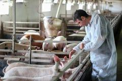 Cerdos de examen del doctor veterinario en una granja de cerdo Fotos de archivo