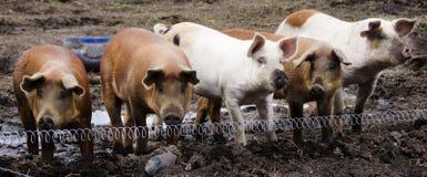 Cerdos de la granja orgánica imagen de archivo
