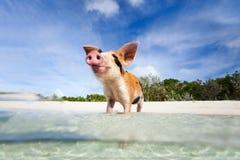 Cerdos de la natación de Exuma Foto de archivo libre de regalías