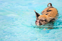 Cerdos de la natación de Exumas Fotografía de archivo libre de regalías