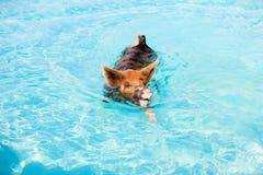 Cerdos de la natación de Exumas Imagen de archivo libre de regalías