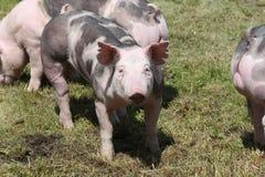 Cerdos de la raza del Duroc-Jersey en la granja en pasto fotos de archivo