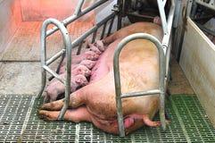 Cerdos del bebé Fotografía de archivo libre de regalías