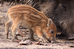 Cerdos del bebé Fotos de archivo