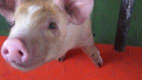Cerdos del bebé, cochinillos, cerdos, animales del campo almacen de video