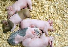 Cerdos del bebé dormidos Foto de archivo libre de regalías