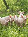 Cerdos del bebé en la hierba Fotografía de archivo libre de regalías