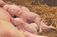 Cerdos del bebé que introducen con la madre Foto de archivo libre de regalías