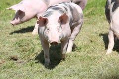 Cerdos del Duroc-Jersey que pastan en el prado fotografía de archivo