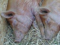 Cerdos el dormir fotos de archivo libres de regalías