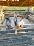 Cerdos en amor imagen de archivo