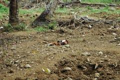Cerdos en Cuba Imágenes de archivo libres de regalías