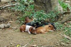 Cerdos en Cuba Imagen de archivo libre de regalías