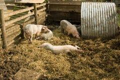 Cerdos en el juego Foto de archivo