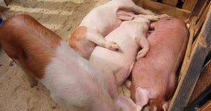 Cerdos en la granja metrajes