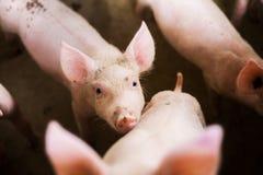 Cerdos en la granja Industria de la carne foto de archivo libre de regalías