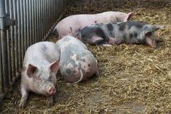 Cerdos en paja en granja orgánica Fotos de archivo