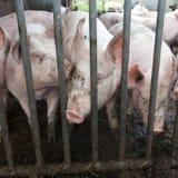 Cerdos en paja en granja orgánica Imagen de archivo