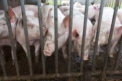 Cerdos en paja en granja orgánica Foto de archivo libre de regalías
