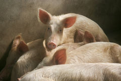 Cerdos en pocilga Fotografía de archivo libre de regalías