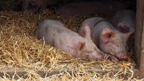 Cerdos en pocilga metrajes