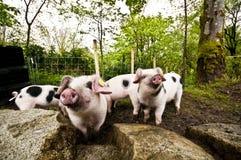 Cerdos en suciedad Fotografía de archivo libre de regalías