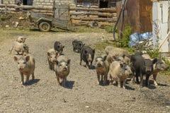 cerdos en un corral en el pueblo Fotografía de archivo