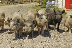 cerdos en un corral en el pueblo Fotos de archivo libres de regalías