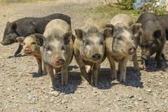 cerdos en un corral en el pueblo Fotografía de archivo libre de regalías