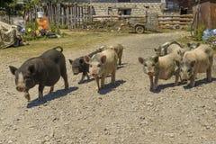 cerdos en un corral en el pueblo Imagen de archivo