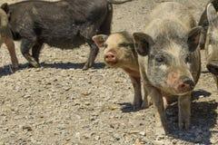 cerdos en un corral en el pueblo Imagen de archivo libre de regalías
