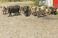 cerdos en un corral en el pueblo Foto de archivo libre de regalías
