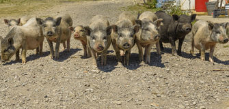 Cerdos en un corral en el pueblo, granja Foto de archivo libre de regalías