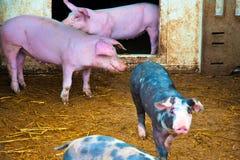 Cerdos en un establo del heno Imágenes de archivo libres de regalías