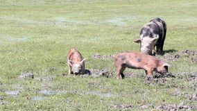 Cerdos en un fango metrajes