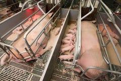 Cerdos en una fábrica Imágenes de archivo libres de regalías