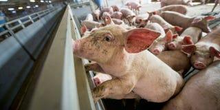 Cerdos en una fábrica imagen de archivo