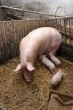 Cerdos en una granja Foto de archivo