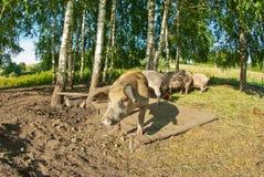 Cerdos en una granja Foto de archivo libre de regalías