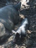 Cerdos en una granja Fotografía de archivo libre de regalías