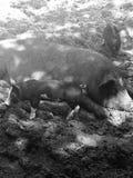 Cerdos en una granja Fotos de archivo