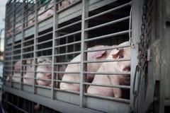 Cerdos femeninos fotografía de archivo libre de regalías
