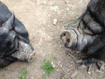 Cerdos hinchados pote Imagenes de archivo