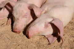 Cerdos jovenes Foto de archivo libre de regalías