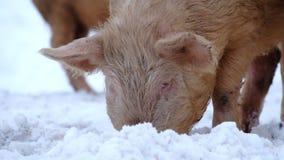 Cerdos jovenes almacen de video