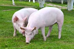 Cerdos jovenes imagen de archivo