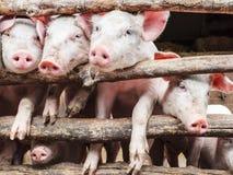 Cerdos jovenes curiosos en un establo Imagenes de archivo